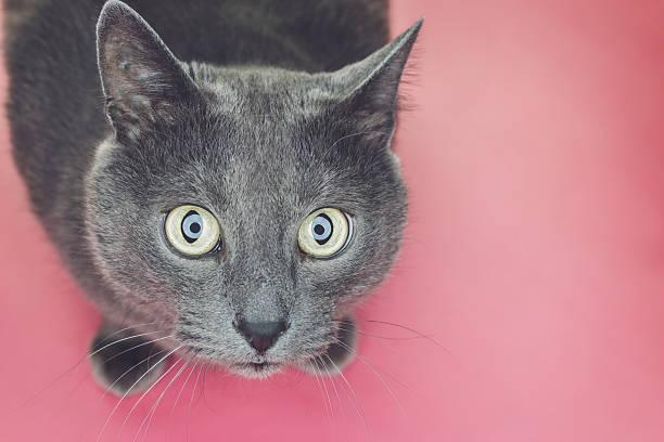 grey cat sitting on pink background stock photo