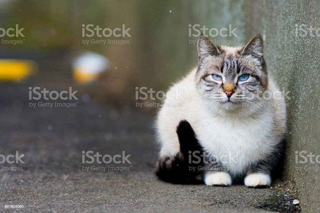 grey cat sitting on the pavement. and it is snowing outside. cat in the snow stock photo