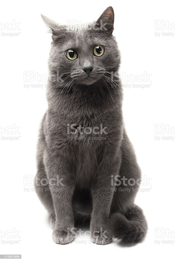 grey cat sitting over white background isolated royalty-free stock photo