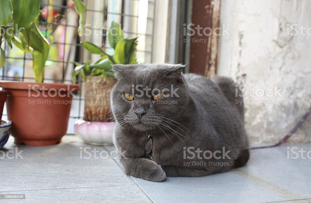 grey cat sleepy but watching by yellow eyes stock photo