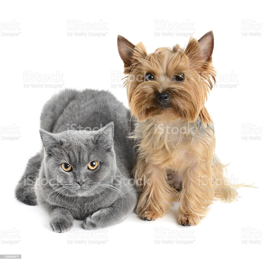 Grey cat with a little brow shaggy dog royalty-free stock photo