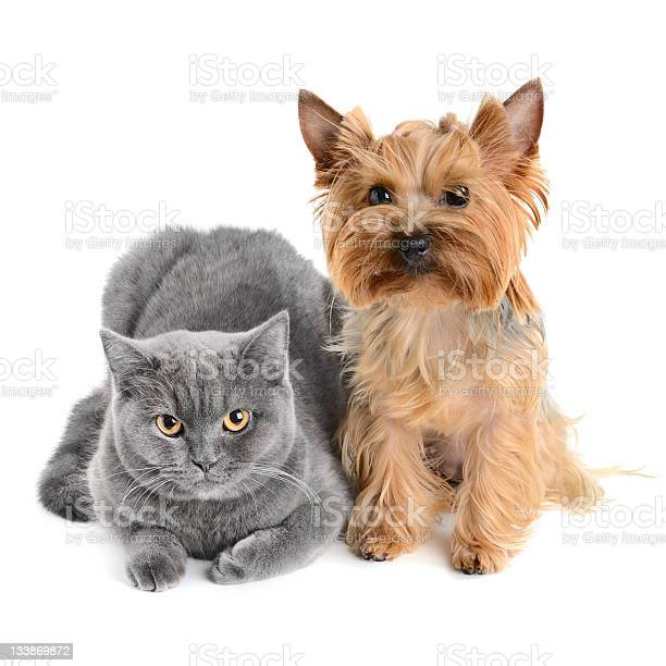 Grey cat with a little brow shaggy dog picture id133869872?b=1&k=6&m=133869872&s=612x612&h=bfqkg5jmkytwowln9b9nibakgomku3kkau5n1r6ah k=