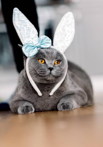 Grey cat with cute bunnylike headband picture id939601752?b=1&k=6&m=939601752&s=612x612&w=0&h=v9etcukpi8ejjyqzetgfskvdneuyvr5jdovl5grmj5q=