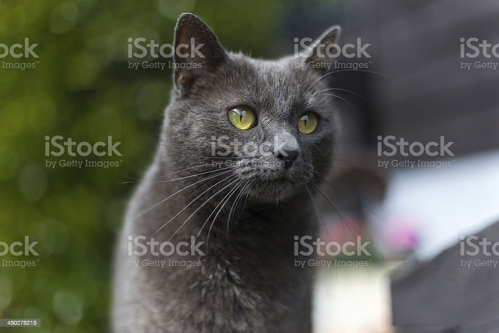 Grey cat with green eyes stock photo