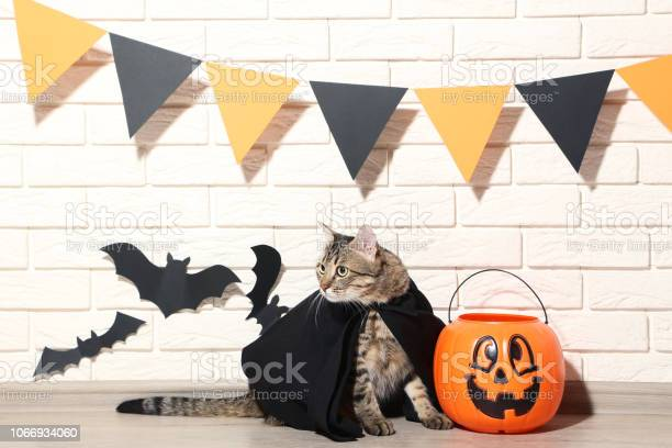 Grey cat with plastic pumpkin and black paper bats on brick wall picture id1066934060?b=1&k=6&m=1066934060&s=612x612&h=hpxjnarnzzis5zofpzoziroehnz eglaqjnwdbrwage=