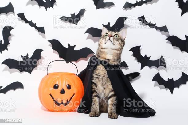 Grey cat with plastic pumpkin and black paper bats on white picture id1066933696?b=1&k=6&m=1066933696&s=612x612&h=j91uqwpumjpya9ae6lyv5cdm7gk2pupiv tt5nxhemy=
