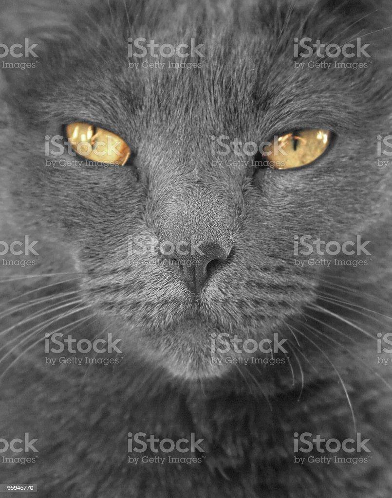 Grey Cat, Yellow Green Eyes royalty-free stock photo