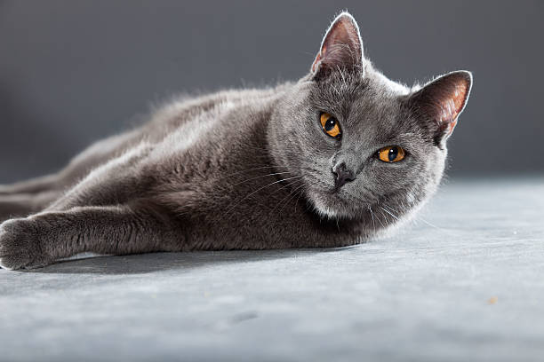 Grey Chartreux cat with yellow orange eyes. stock photo