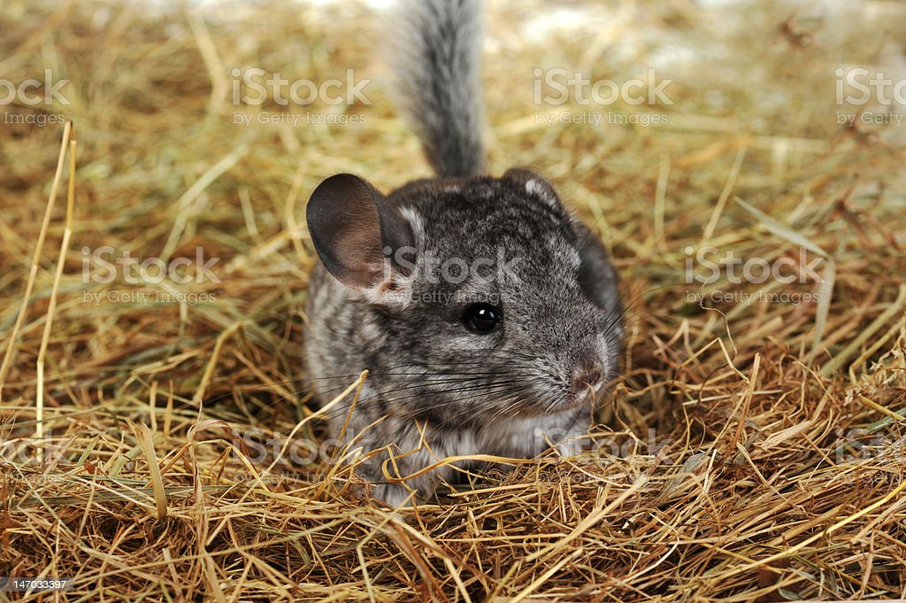 Grey chinchilla royalty-free stock photo