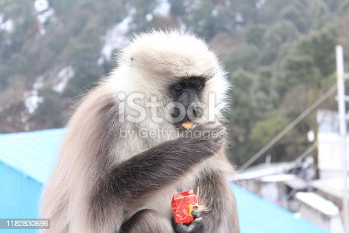 Grey Color Langur sitting on pipe and eating biscuits,nuts