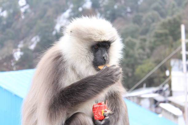 Grey Color Langur Animal sitting on pipe and eating biscuits,nuts Grey Color Langur sitting on pipe and eating biscuits,nuts langur stock pictures, royalty-free photos & images