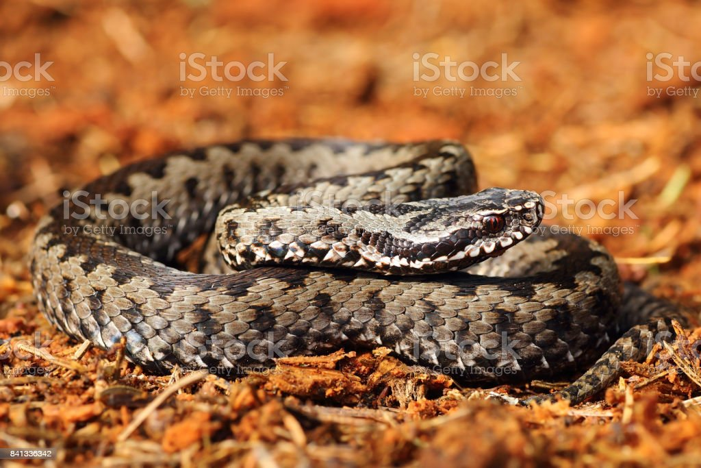 grey common crossed adder basking in natural environment stock photo