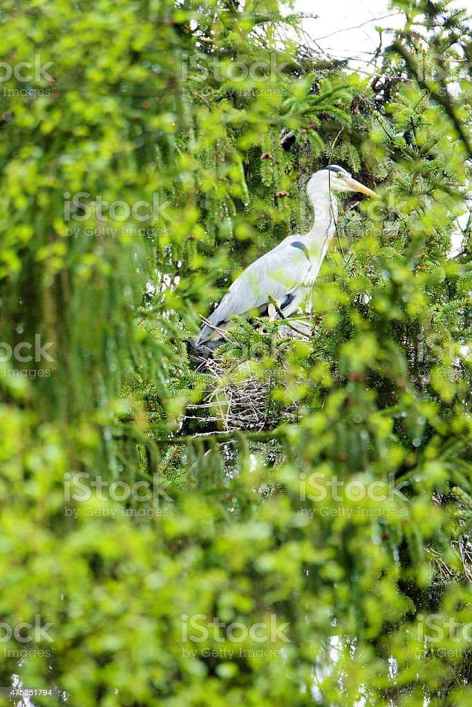 Grey Common heron bird's nest in green forest stock photo