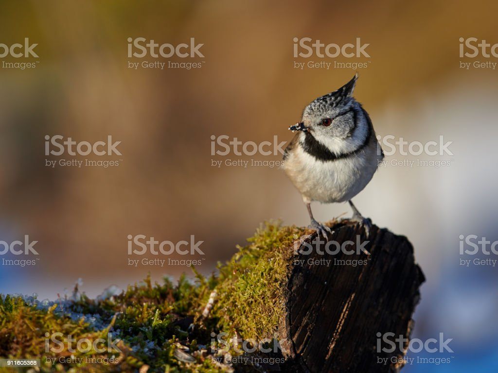 Grey crested tit stock photo