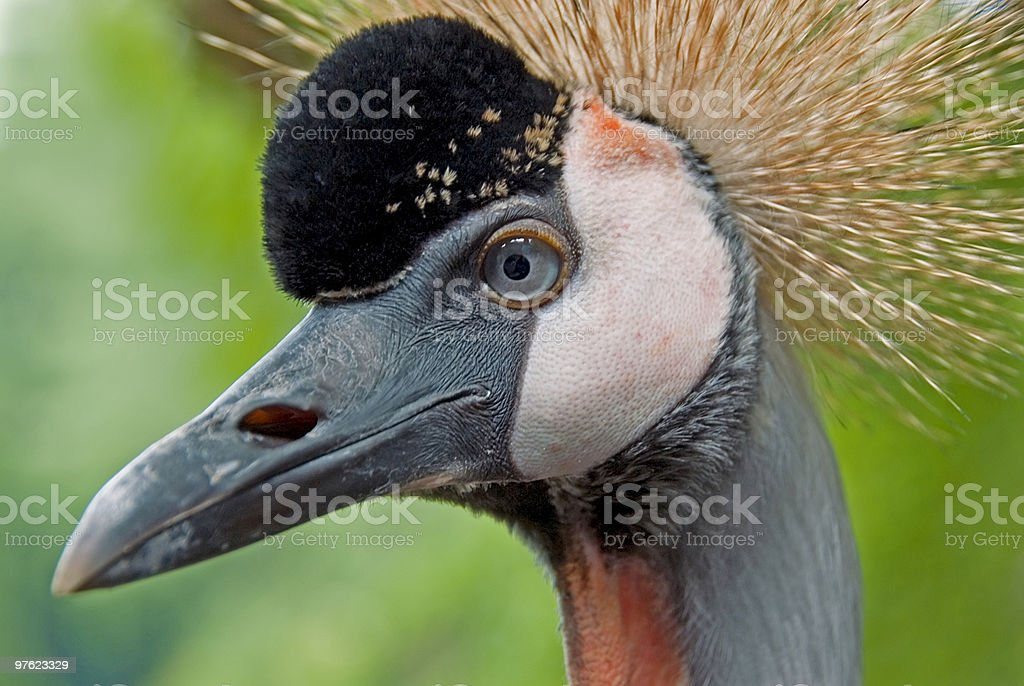 Grey  Crowned Crane 02 royalty-free stock photo