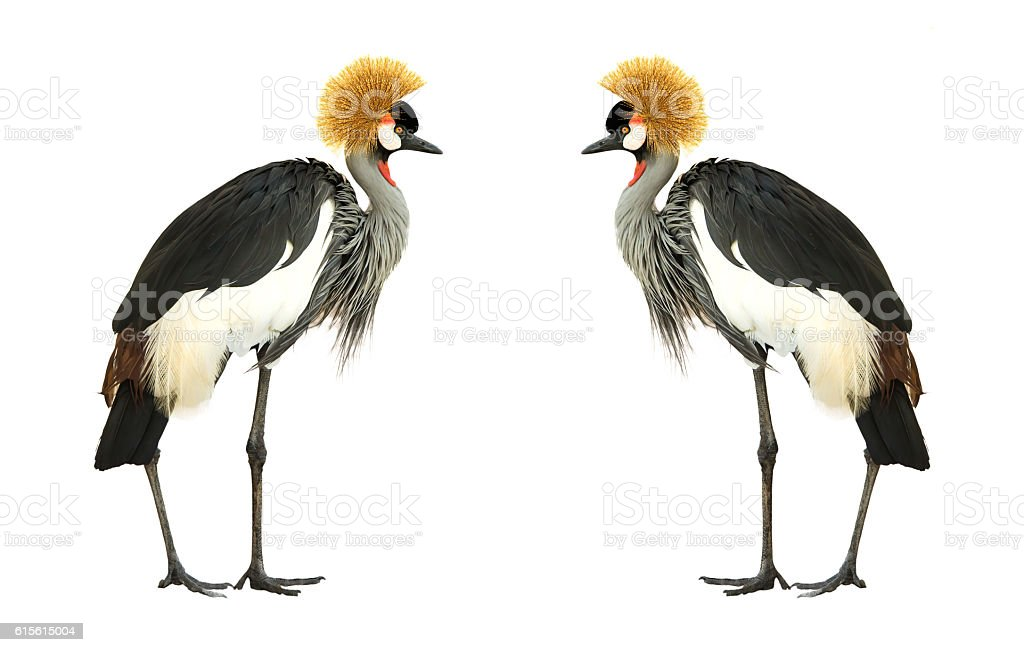 Grey Crowned Crane isolated on white background. stock photo