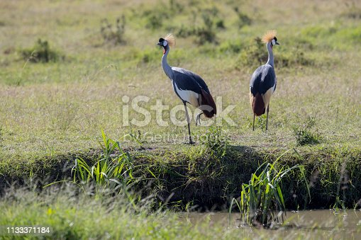 A Grey  crowned Crane. Taken in Kenya