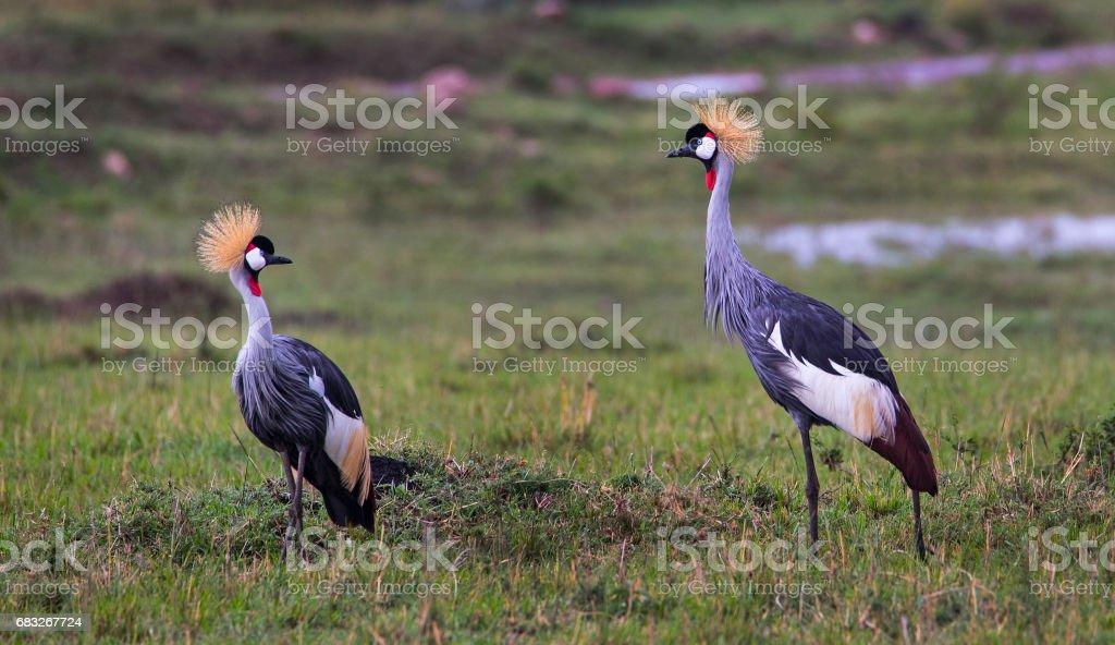 Grey Crowned Cranes foto de stock royalty-free