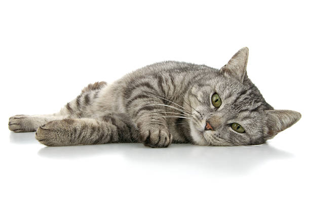 Grey domestic cat laying on white background stock photo