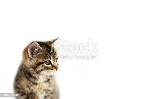 istock Grey Domestic Shorthair Tabby Cat Kitten Sitting the the Snow with White Background 988721032