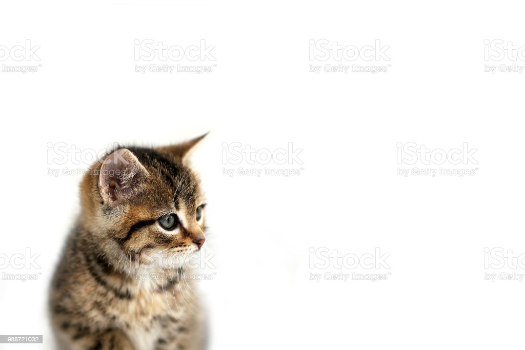 Grey Domestic Shorthair Tabby Cat Kitten Sitting the the Snow with White Background stock photo