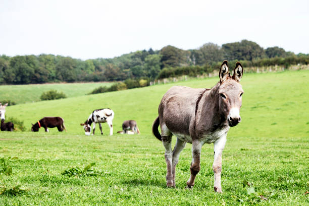 Grey donkey stock photo