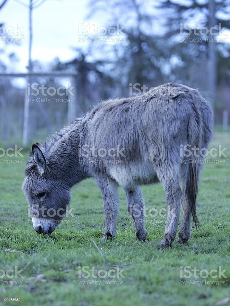 grey donkey royalty-free stock photo