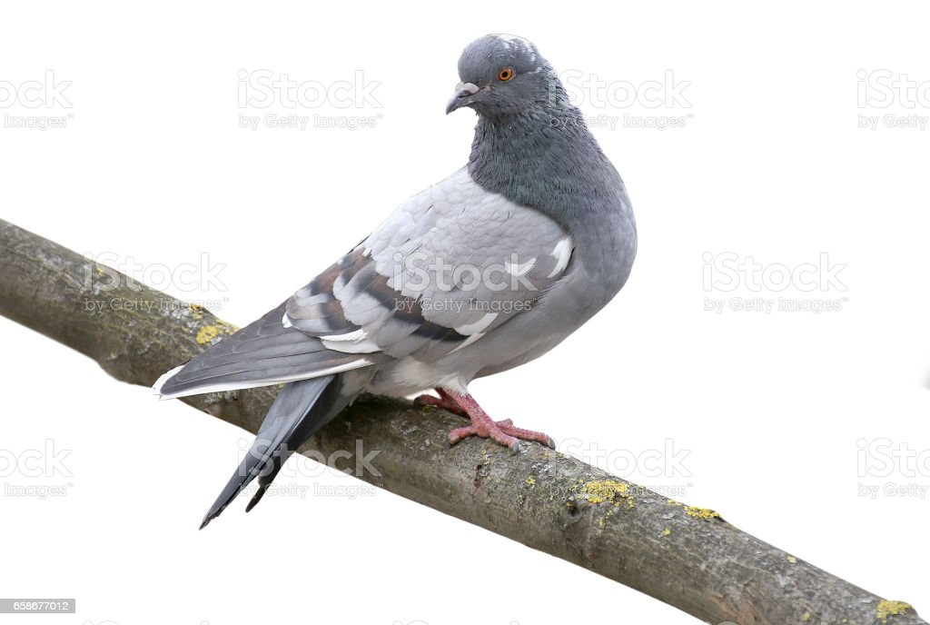 Grey dove isolated on a white background. Feral Pigeon stock photo