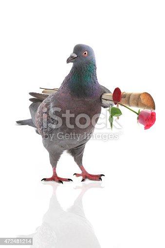 istock grey dove 472481214