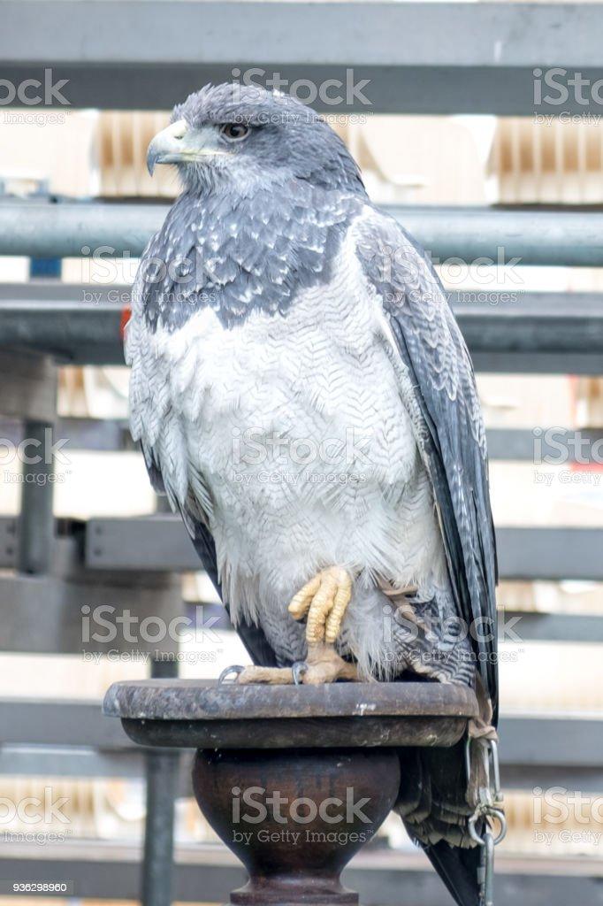 Grey Eagle. Local fiesta in Baiona. Galicia stock photo