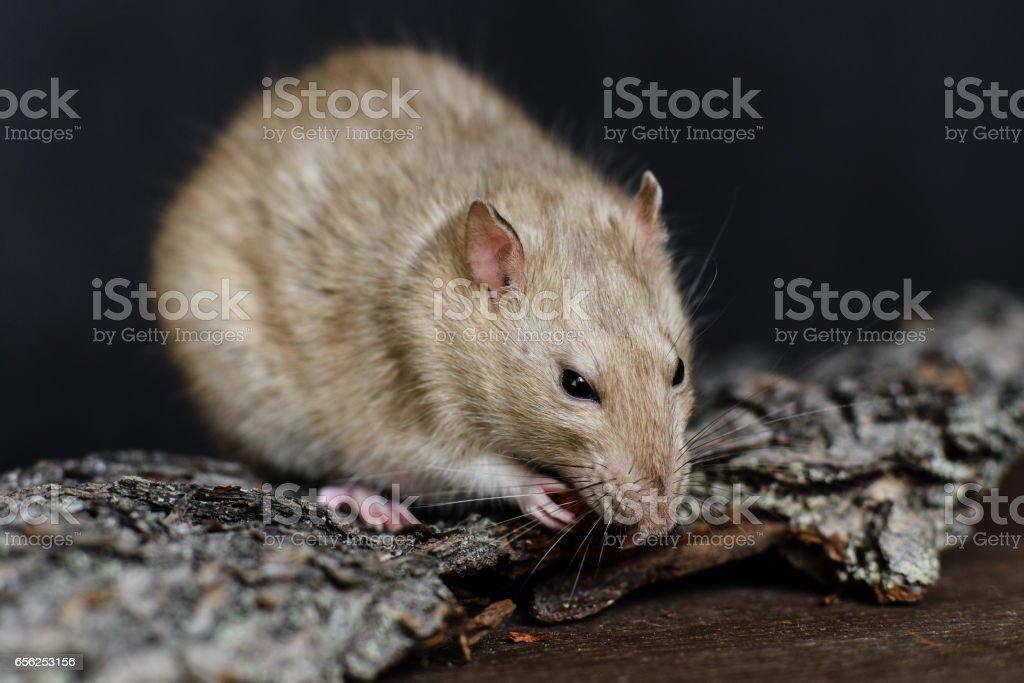 Grey fancy rat eating nut on dark background stock photo