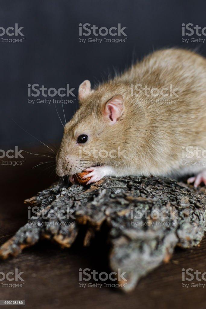 Grey fancy rat eating seeds on dark background stock photo