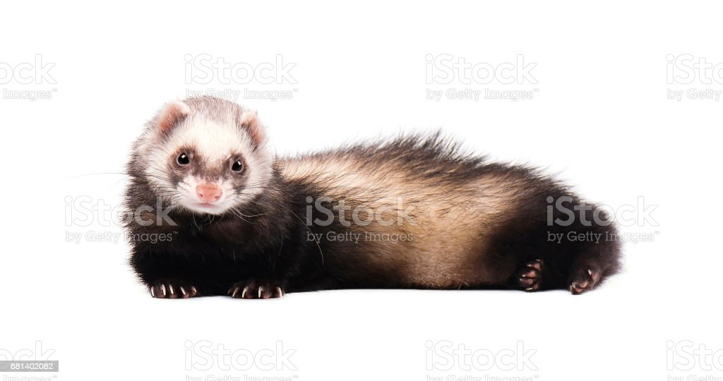 Grey ferret in full growth lies isolated royalty-free stock photo
