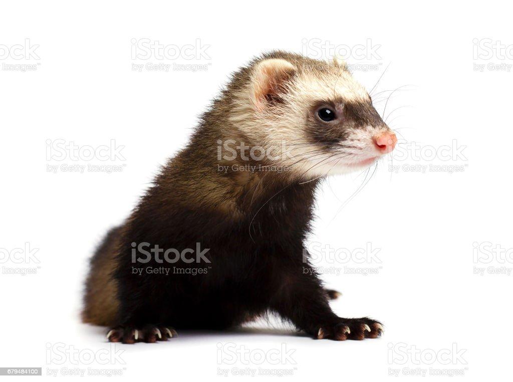Grey ferret isolated on white background stock photo