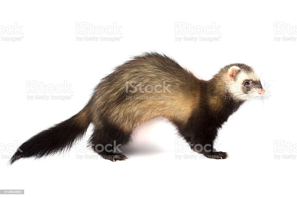Grey ferret isolated stock photo