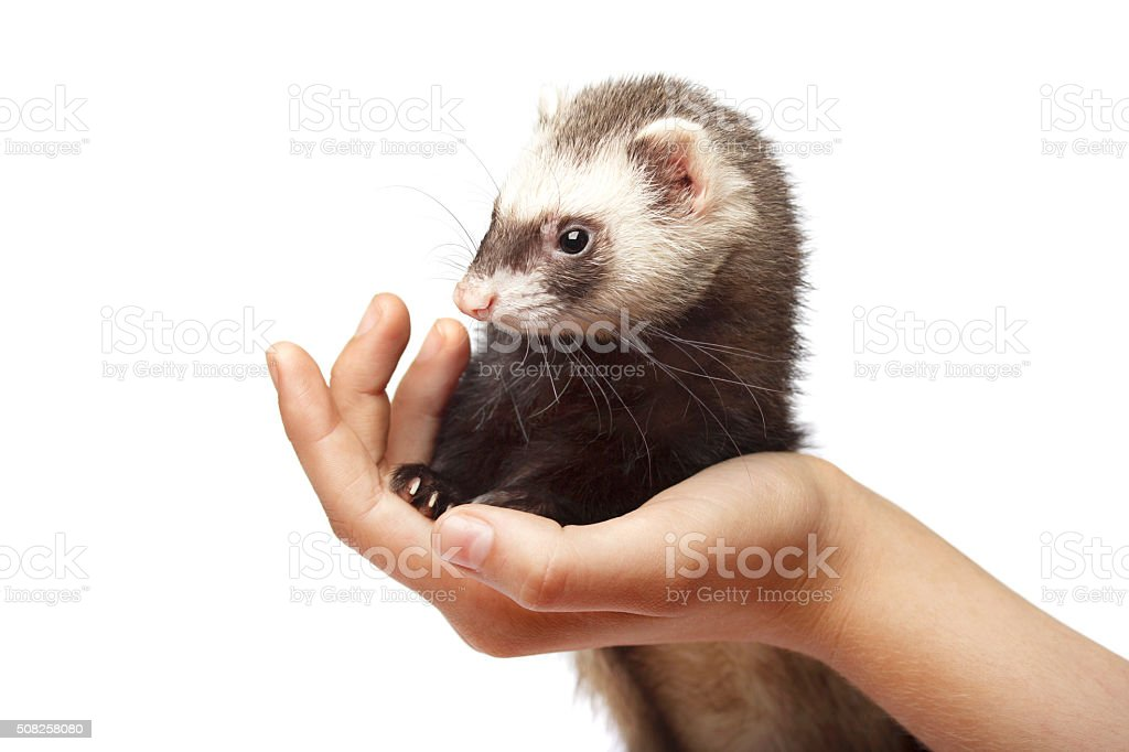 Grey ferret on female hand stock photo