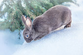 grey fluffy rabbit in the snow, sunny winter day