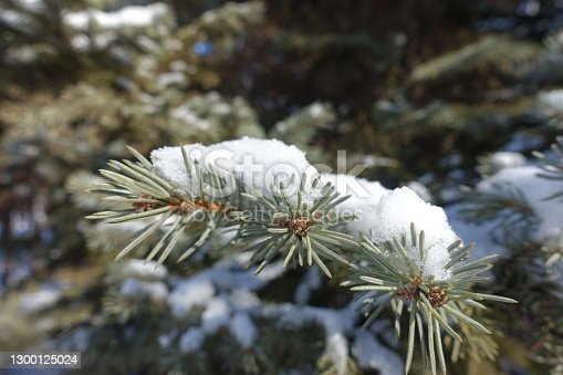Grey foliage of blue spruce covered with snow in February