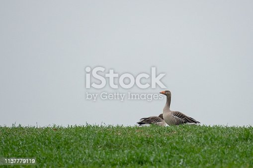 Grey geese resting on a green field