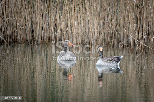 2 grey geese swimming on a lake