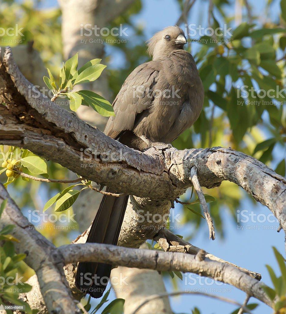 Grau Go-Away-Bird Lizenzfreies stock-foto
