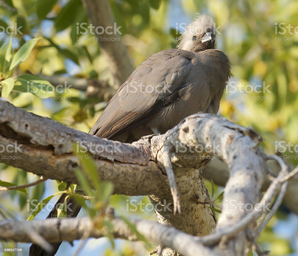 Grey Go-Away-Bird royalty-free stock photo