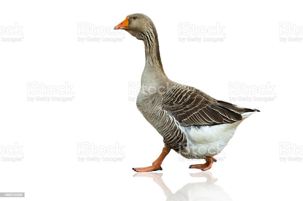 Grey goose on a white background stock photo