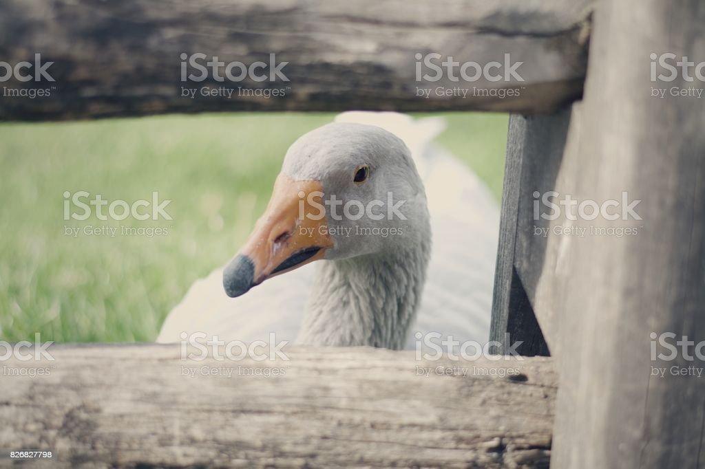 grey goose stock photo