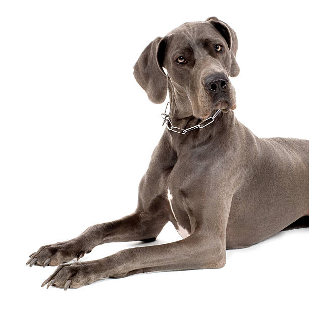 Grey Great Dane  dane county stock pictures, royalty-free photos & images
