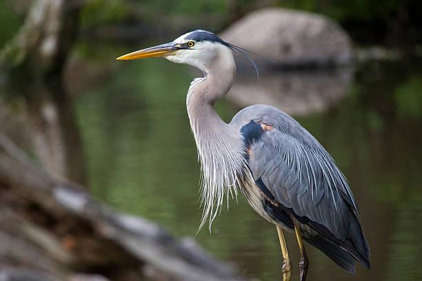 grey great heron - balıkçıl stok fotoğraflar ve resimler