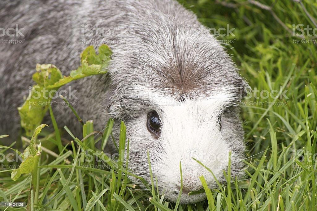 Grey Guinea Pig hiding in grass stock photo