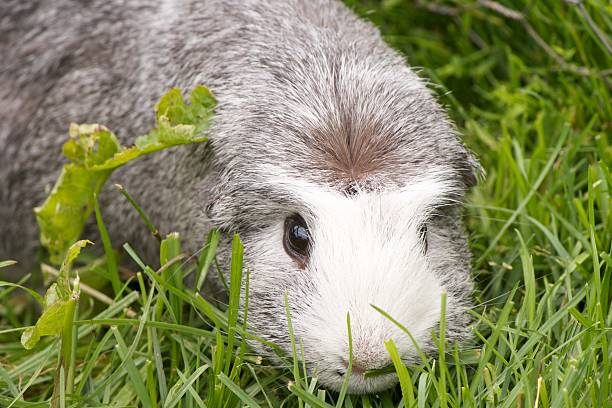 Grey Guinea Pig hiding in grass stock photo