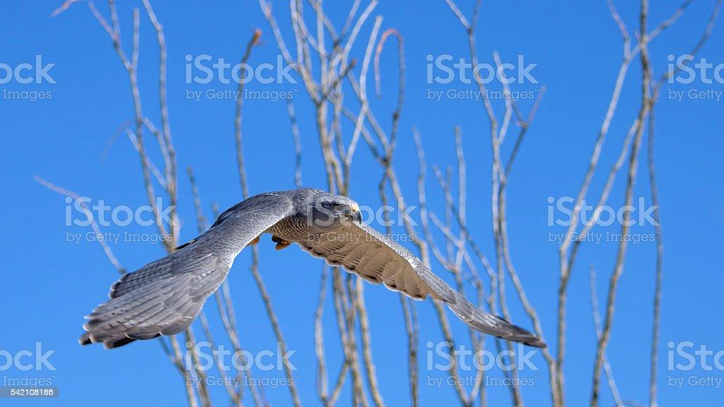 Grey Hawk flying stock photo