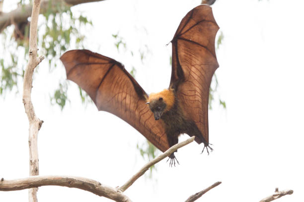 Grey Headed Flying Fox About to Land stock photo